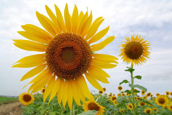 sunflower photo by bonguri {flickr}