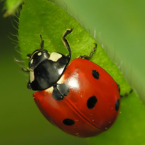 Coccinella septempunctata Seven Spotted Photo by Dominik Stodulski