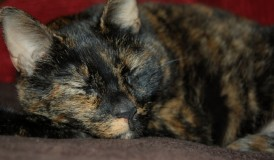 tortoiseshell cat on the couch