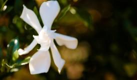 Gardenia in Warm Morning Light