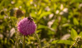 Bee on a Puffy Flower in a Field